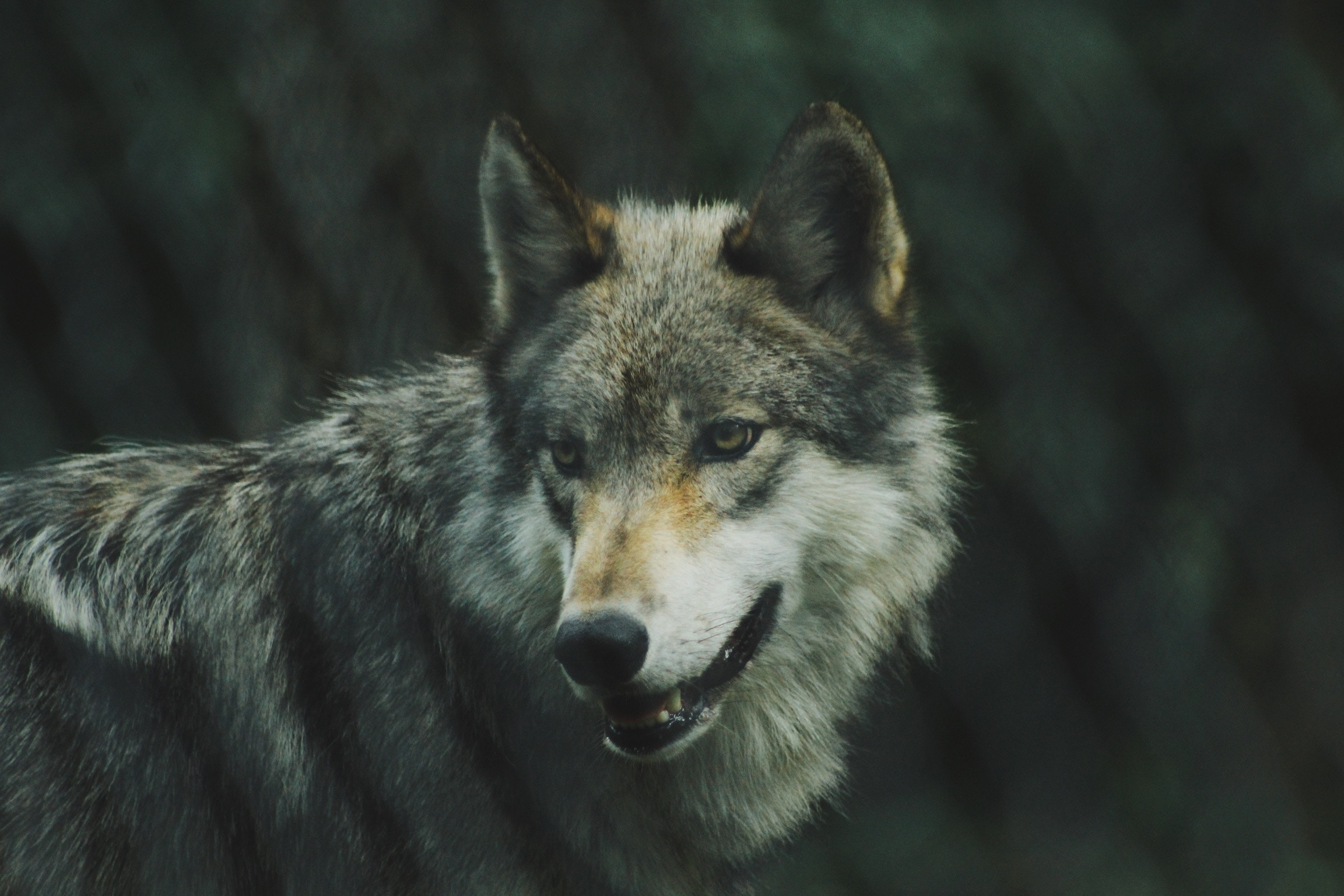 Bring Back Your Wolf
